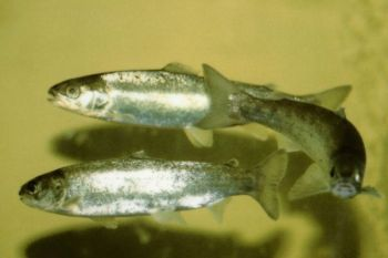 River herring crashed because of mismanagement by the NCMRC even as state biologists warned continued commercial netting was detrimental, and at least one recreational angler says he fears the same thing could happen with speckled trout.