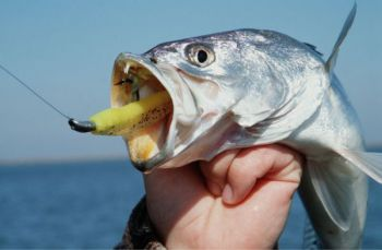 Gamefish protection of speckled trout, along with redfish and stripers, is not going to be addressed by the North Carolina Committee on Marine Fisheries, according to one of the committee members.