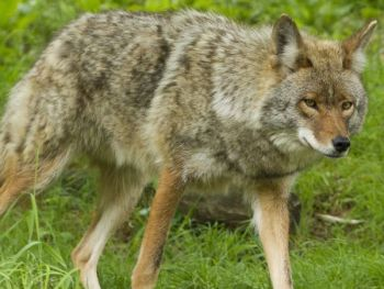 Learn the right way to deal with coyotes at one of these coyote management workshops.