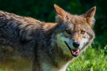 As an incentive to have more hunters kill coyotes, the SCDNR has tagged and released 32 of the canines in the past two years. The 'yotes carry a bounty of a lifetime hunting license.