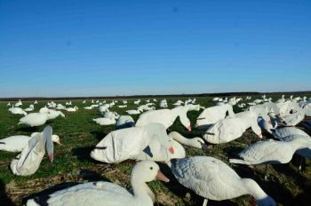 Regulations for an extended season for snow and other light geese are intended to encourage a large harvest and cut goose numbers.