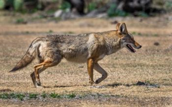 Coyote hunting and trapping regulations are very liberal in South Carolina, and hunters can shoot them year-round and even at night with some restrictions.