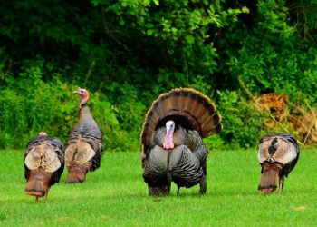 With the public's help on reporting their wild turkey observations, the NCWRC is better equipped to manage the state's wild turkey population.